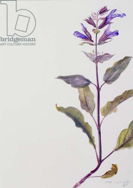 Flowering Sage, 1995 (w/c over pencil on paper)
