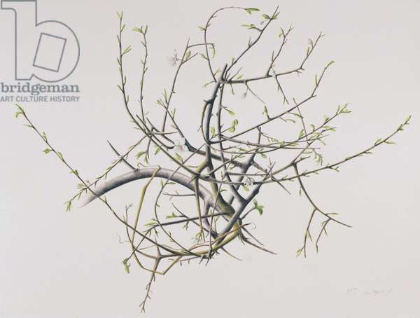 Spring Blackthorn, 1998 (w/c over pencil on paper)