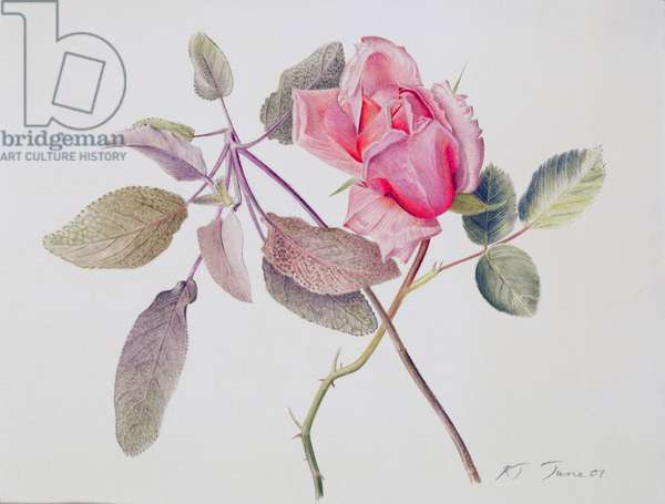 Albertine Opening and Sage, 2001 (w/c over pencil on paper)