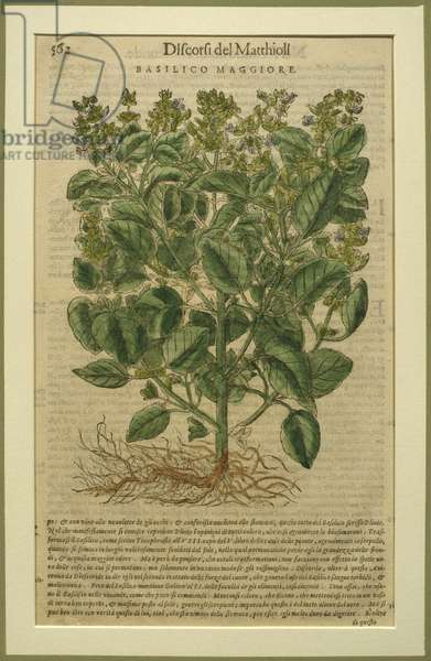 Basil, a botanical plate from the 'Discorsi' by Pietro Andrea Mattioli (1501-77) published in Venice, 1570 (woodcut)