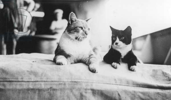 HMS Hood's Pet Cats, 1937 (b/w photo)