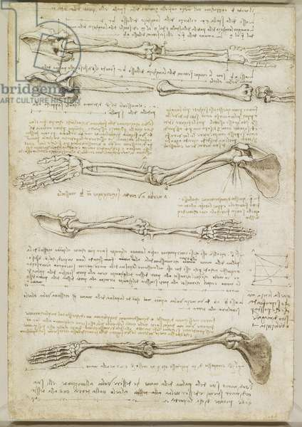 The Bones and Muscle of the arm, c.1510 (pen & ink with wash over black chalk on paper)