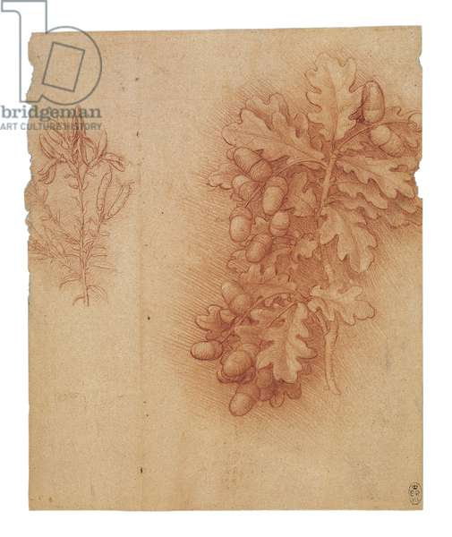 Oak and dyer's greenweed, c.1505-10 (red chalk with white heightening on paper)