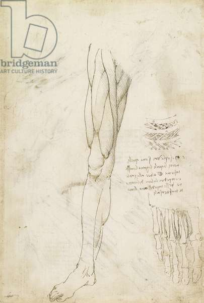 Recto: The muscles of the leg, and the intercostal muscles, c.1510-11 (pen & ink, over traces of black chalk on paper)