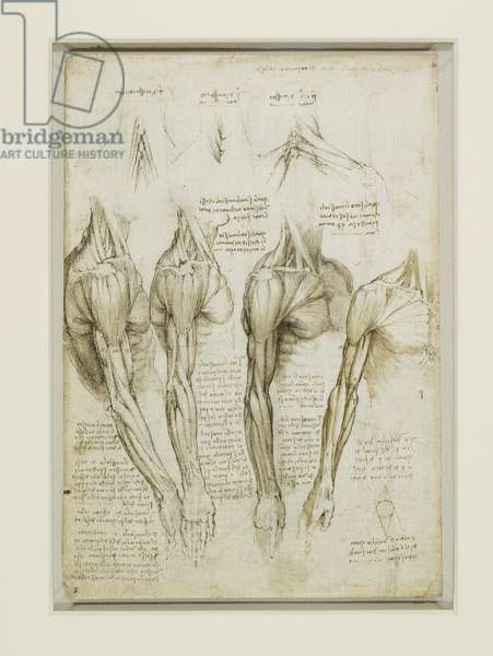 The muscles of the shoulder, arm and leg, c.1510 (pen & ink with wash over black chalk on paper)