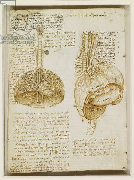 Study of the thoracic and abdominal organs, c.1508 (pen & ink over chalk on paper)