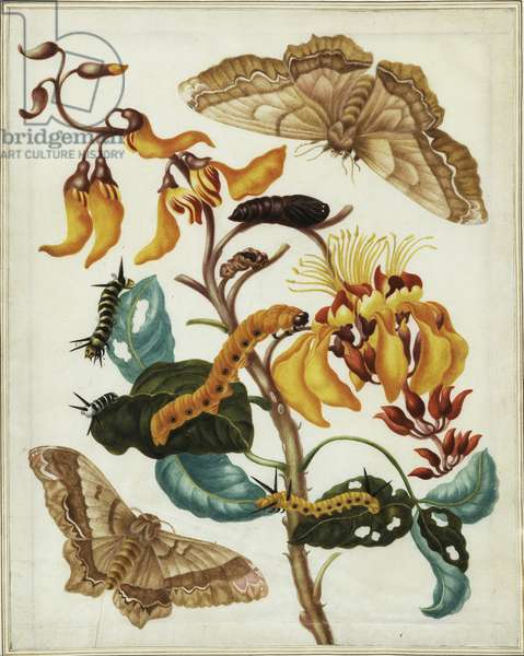 Branch of swamp immortelle with giant silk moths, caterpillars and chrysalises, c.1701-05 (w/c & gouache over etched outlines)