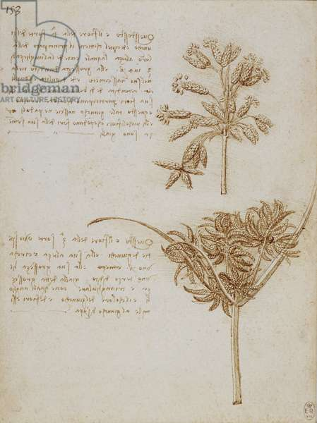 The seed-heads of two rushes, with notes, c.1510 (pen & ink on paper)