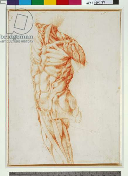 Écorché  of a male torso (red chalk on paper)