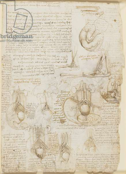 Verso: Studies of the fetus, related internal organs, and the arm, c.1511 (pen & ink on paper)