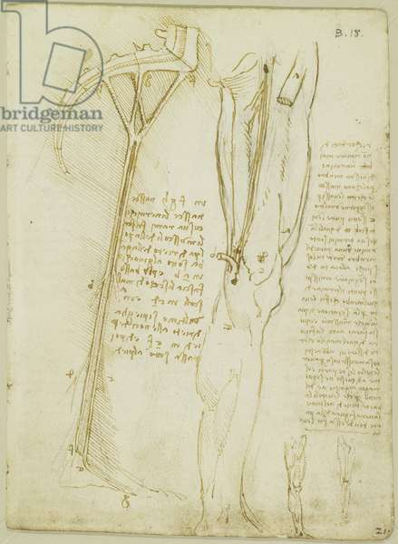 Recto: The muscles and nerves of the leg, c.1508 (pen & ink over black chalk on paper)