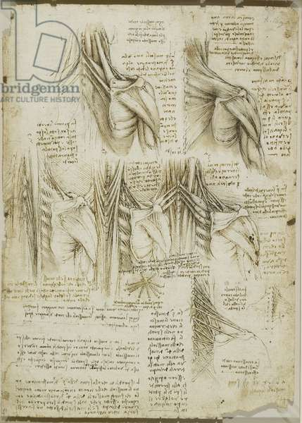 The muscles of the upper spine, c.1510 (pen & ink with wash, over black chalk on paper)