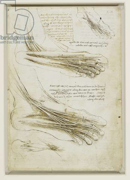 The muscles and tendons of the sole of the foot, c.1510 (pen & ink on paper)