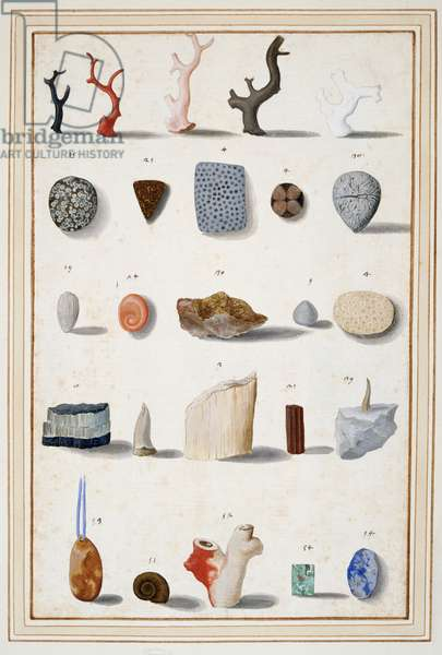 Specimens of corals, figured stones, minerals and fossils, c.1630-40 (w/c & bodycolour over chalk on paper)