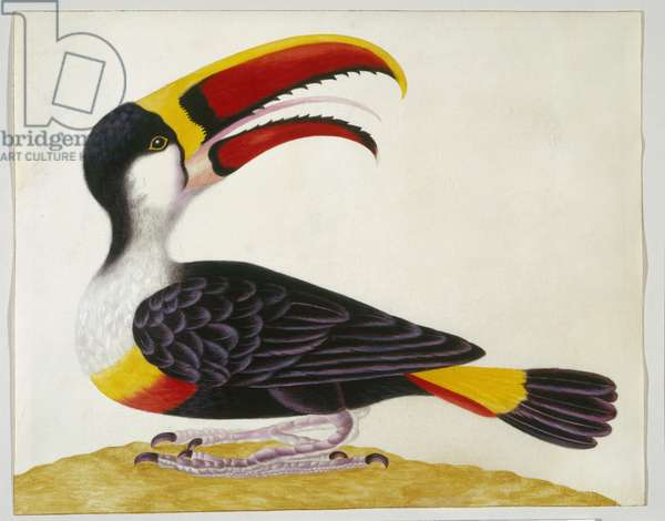 Red-billed toucan, c.1705-10 (w/c & bodycolour on vellum)