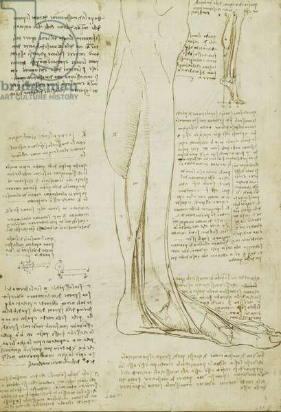 Verso: The muscles of the lower leg, c.1510-11 (pen and ink over traces of black chalk on paper)
