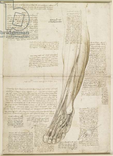 The muscles and tendons of the lower leg and foot, c.1510 (pen & ink, over traces of black chalk on paper)