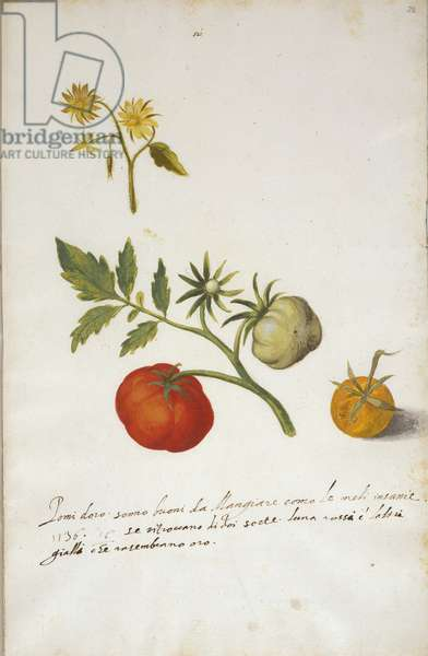 A tomato plant, c.1610 (w/c & bodycolour over chalk on paper)
