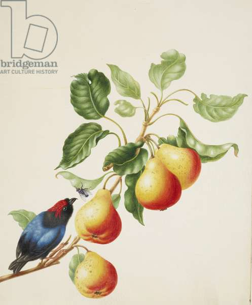 Blue-Backed Manakin on a branch of Pear, c.1705 (w/c & gouache with gum arabic on vellum)