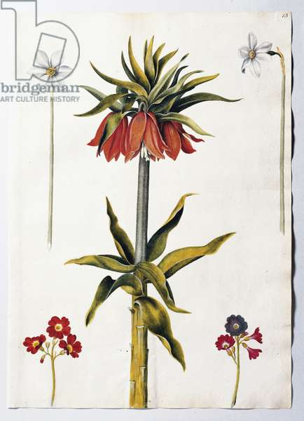 Crown imperial, narcissi and auriculas, c.1650-82 (w/c on paper)