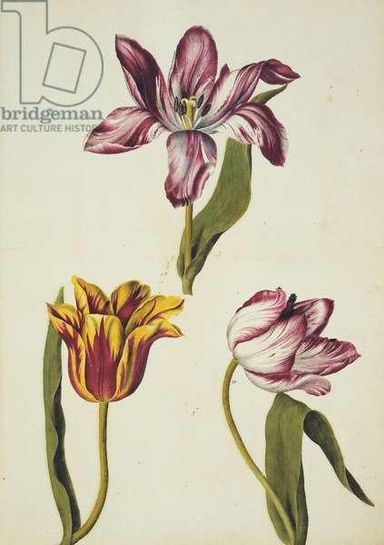 Tulips, c.1650-82 (w/c on paper)