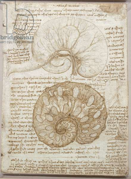 The uterus of a gravid cow, c.1508-09 (pen & ink over chalk on paper)