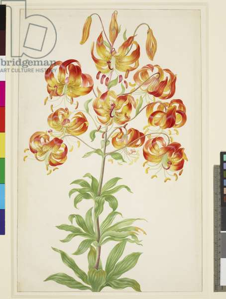 Turk's Cap Lily, c.1705 (w/c & gouache with gum arabic on vellum)