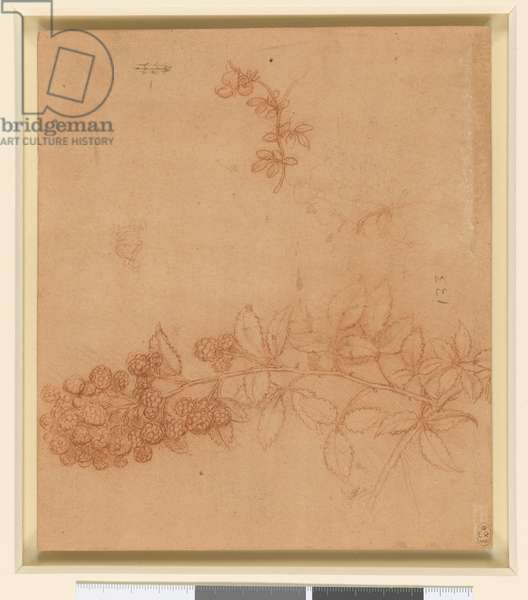A branch of blackberry, and a stem of bird's-foot trefoil, c.1506-12 (red chalk on orange-red prepared paper)