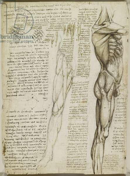 Verso: The muscles of the trunk and leg, c.1510-11 (black chalk, pen and ink, wash on paper)
