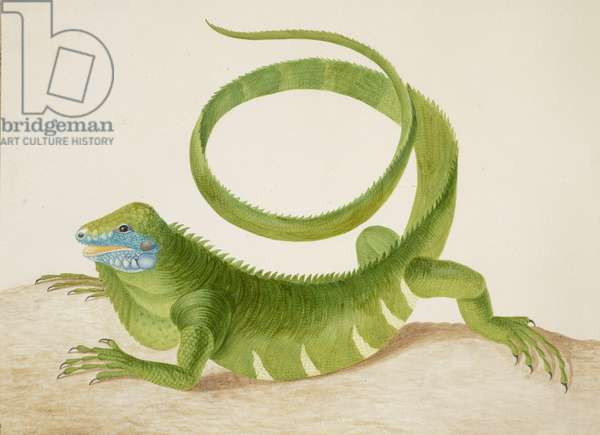 Green Iguana, c.1701-10 (w/c & gum arabic on vellum)