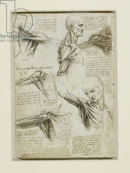 The muscles of the shoulder, c.1510 (pen & ink with wash over black chalk on paper)