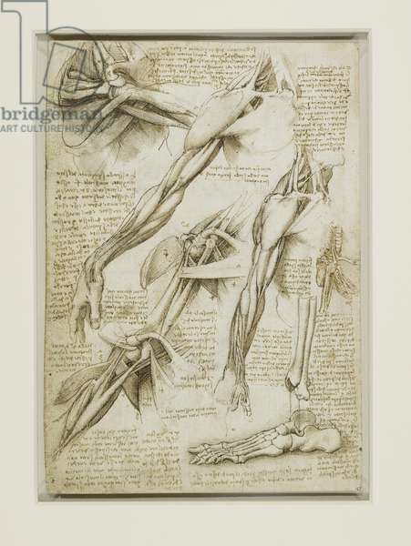 The muscles of the shoulder and arm, and the bones of the foot, c.1510 (pen & ink with wash over black chalk on paper)