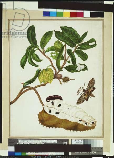 Custard apple tree branch, Plate 14 from 'Metamorphosis Insectorum Surinamensium', 1699-1701 (w/c on paper)