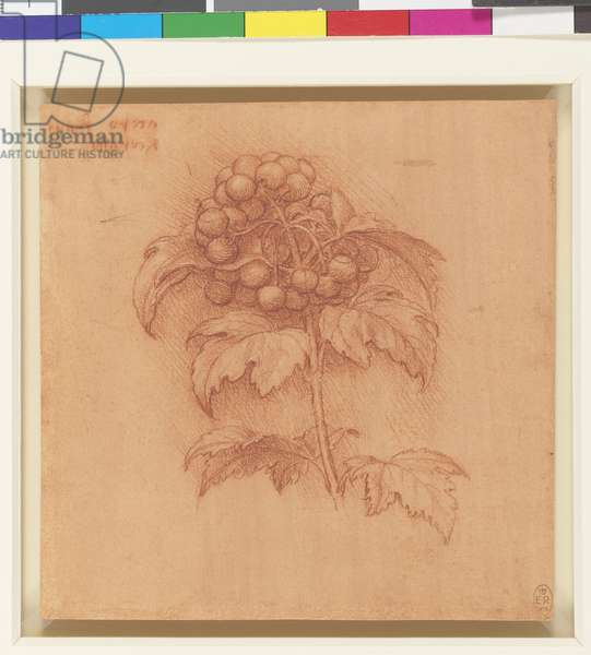A sprig of guilder-rose, c.1506-12 (red chalk, touches of white chalk, on orange-red prepared paper)