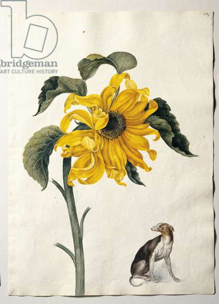 Common sunflower and greyhound, c.1650-82 (w/c on paper)