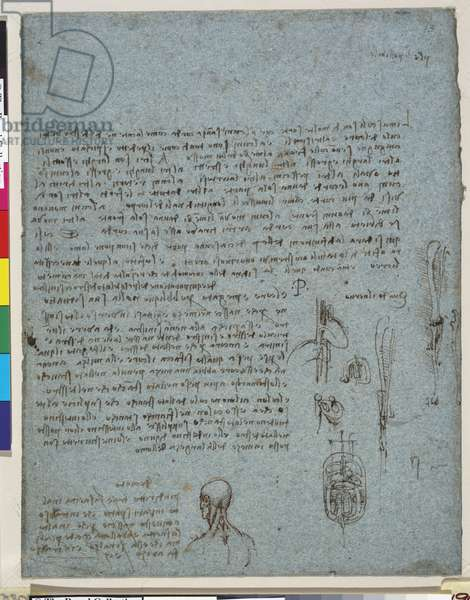 Notes on the muscles of the heart, and assymetry in the body, c.1511-13 (pen and ink with some red chalk on blue paper)