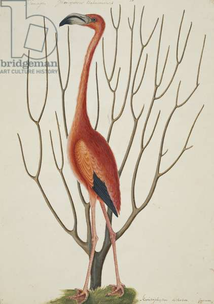 The Flamingo and Keratophyton Dichotomun fuscum (w/c on paper)
