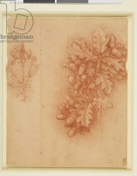 Sprigs of oak and dyer's greenweed, c.1506-12 (red chalk, touches of white chalk, on orange-red prepared paper)