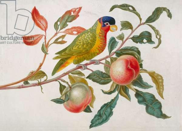 Ornate lory on branch of peach tree, c.1691-9 (w/c & bodycolour on vellum)