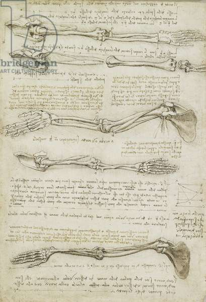 The bones and muscles of the arm, c.1510-11 (black chalk, pen and ink, wash on paper)