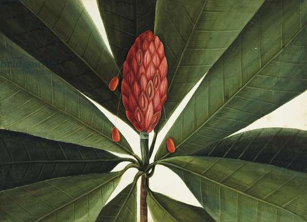 Bull Bay Magnolia, c.1722-26 (w/c & gouache on paper)