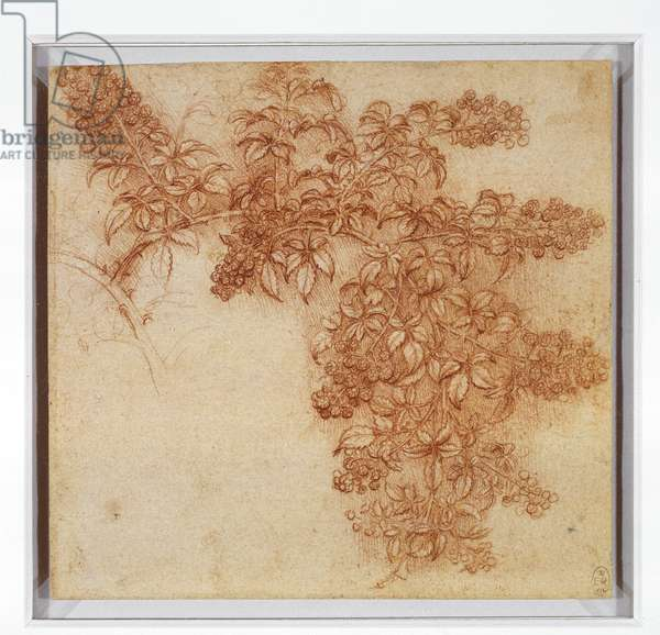 A branch of blackberry (Rubus fruticosus), c.1505-10 (chalk & white heightening on paper)