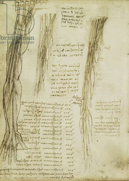 Verso: The brachial plexus and nerves of the arm, c.1508 (pen & ink over black chalk on paper)