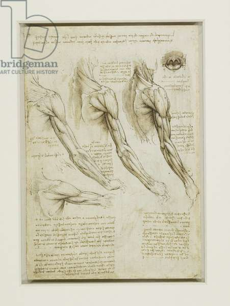 The muscles of the shoulder and arm, c.1510 (pen & ink with wash over black chalk on paper)