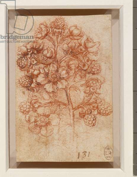 A sprig of blackberry (Rubus fruticosus), c.1505-10 (red chalk with touches of pen and ink on paper)