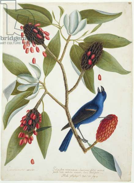 A blue grosbeak and sweet bay, c.1728-9 (w/c & bodycolour over graphite with gum arabic)