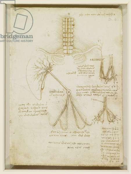 The brachial plexus, c.1508 (pen & ink over chalk on paper)