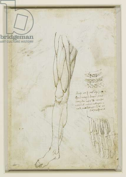 The muscles of the leg and the intercostal muscles, c.1510 (pen & ink over black chalk on paper)