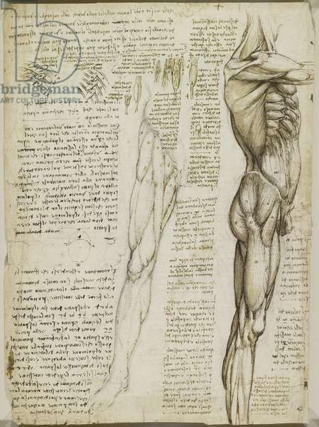Verso: The muscles of the trunk and leg, c.1510-11 (black chalk, pen & ink and wash on paper)