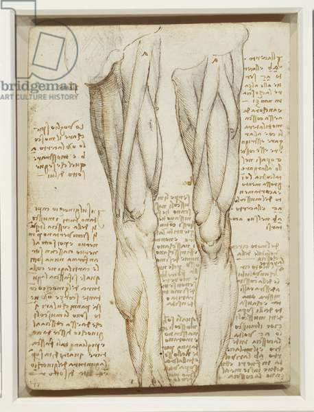 The muscles of the thigh, c.1508-09 (pen & ink over black chalk on paper)